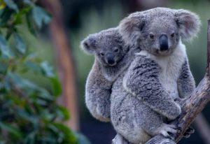 koalas inspiracion diseño pendientes niña bebe oro plata