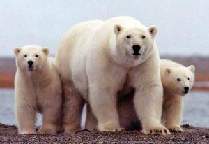 osos diseño pendientes bebe niña rosca mocosa