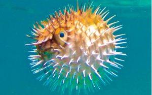 pez globo inspiración para diseñar pendientes de niña