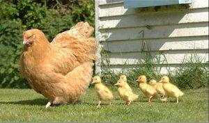 pollo pollito inspiración diseño pendientes niña bebé oro plata