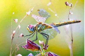 libélula foto de las más bonitas diseño para pendientes