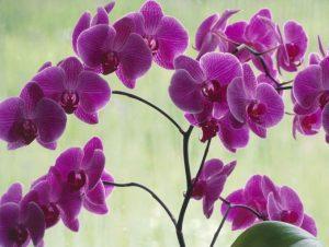 pendientes de flores orquídeas